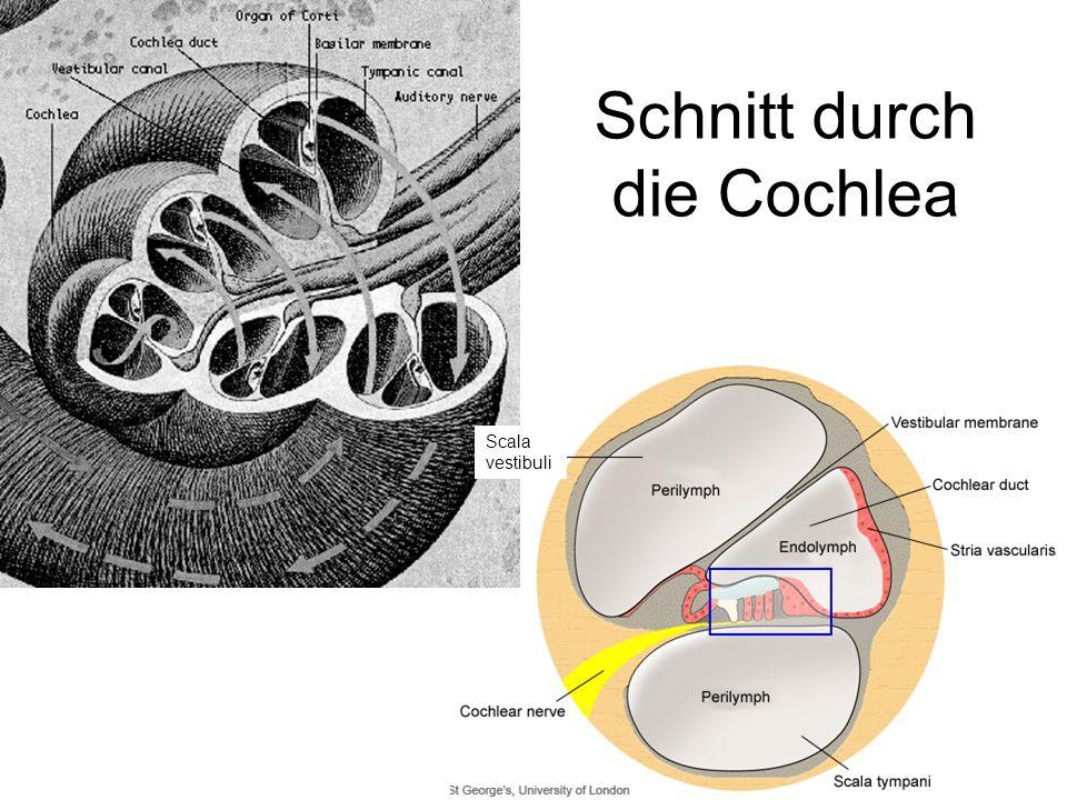 Schnitt durch die Cochlea Scala vestibuli