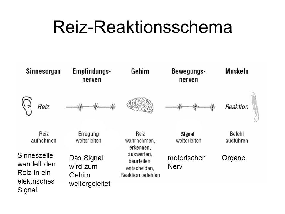 Reiz-Reaktionsschema Sinneszelle wandelt den Reiz in ein elektrisches Signal motorischer Nerv OrganeDas Signal wird zum Gehirn weitergeleitet