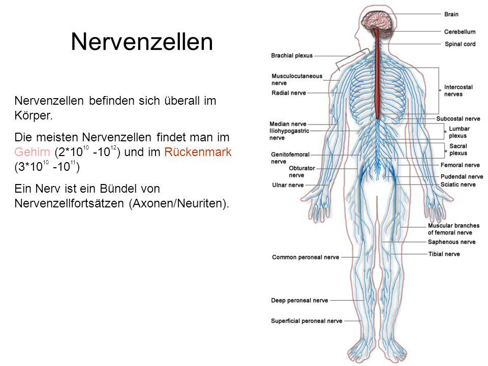 Nervenzellen Nervenzellen befinden sich überall im Körper. Die meisten Nervenzellen findet man im Gehirn (2*10 10 -10 12 ) und im Rückenmark (3*10 10