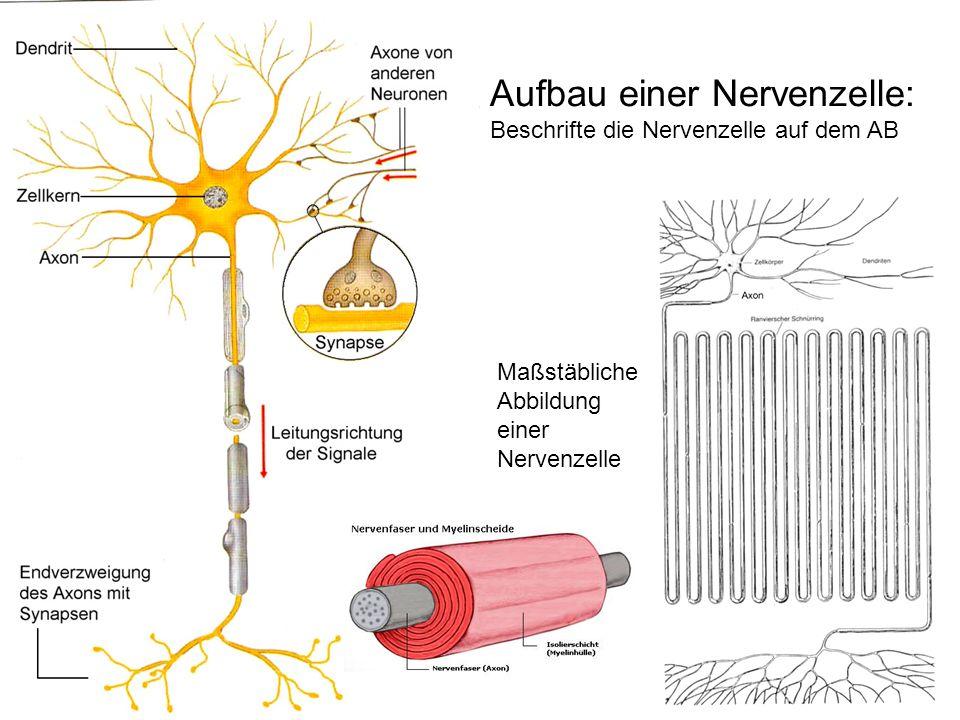 Aufbau einer Nervenzelle: Beschrifte die Nervenzelle auf dem AB Maßstäbliche Abbildung einer Nervenzelle