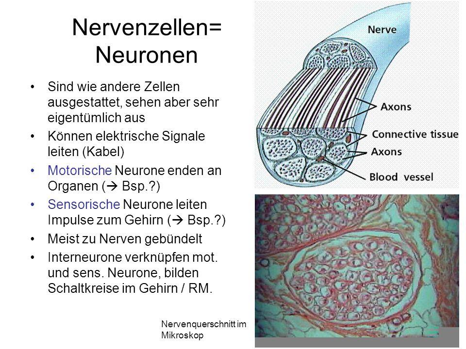 Nervenzellen= Neuronen Sind wie andere Zellen ausgestattet, sehen aber sehr eigentümlich aus Können elektrische Signale leiten (Kabel) Motorische Neur