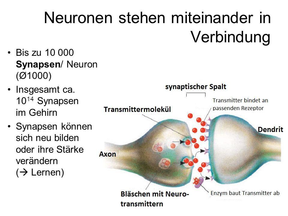 Neuronen stehen miteinander in Verbindung Bis zu 10 000 Synapsen/ Neuron (Ø1000) Insgesamt ca. 10 14 Synapsen im Gehirn Synapsen können sich neu bilde