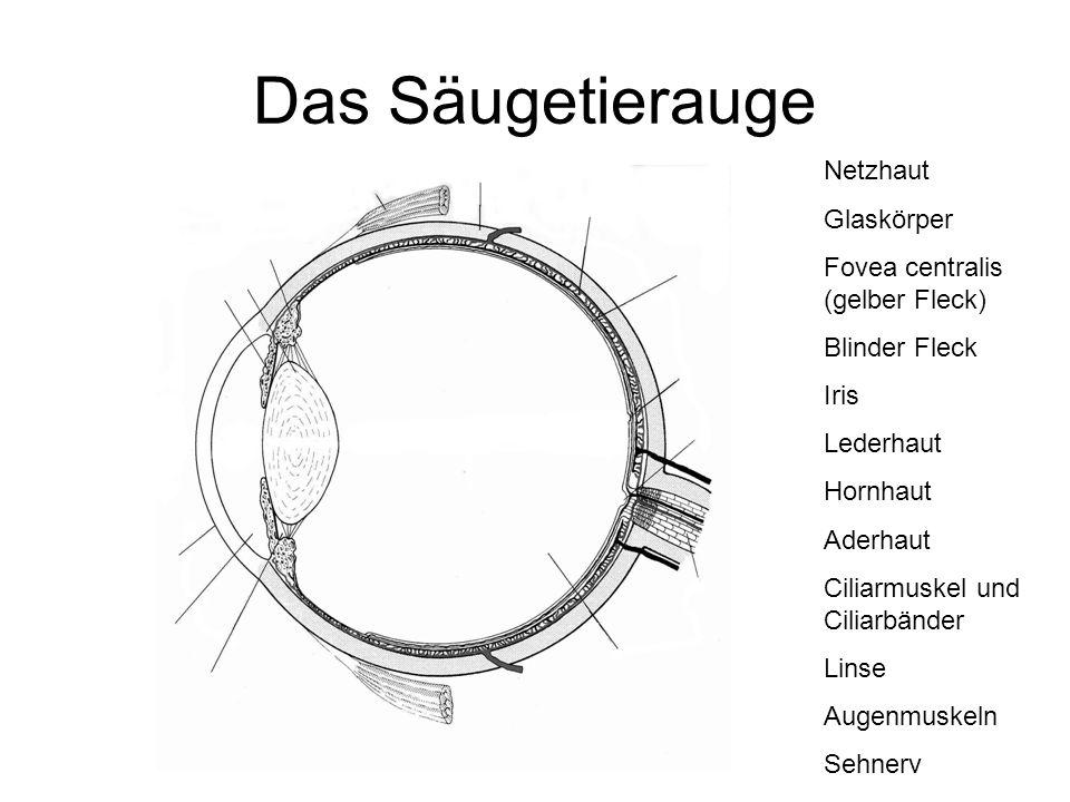 Das Säugetierauge Netzhaut Glaskörper Fovea centralis (gelber Fleck) Blinder Fleck Iris Lederhaut Hornhaut Aderhaut Ciliarmuskel und Ciliarbänder Lins