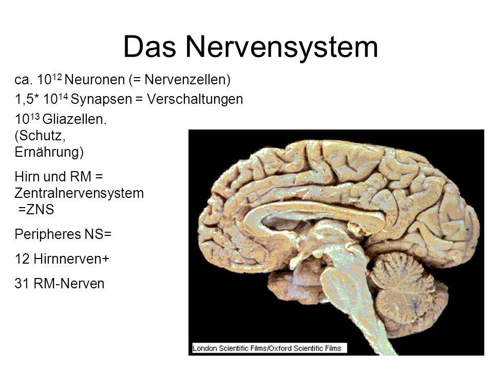 Das Nervensystem ca. 10 12 Neuronen (= Nervenzellen) 1,5* 10 14 Synapsen = Verschaltungen 10 13 Gliazellen. (Schutz, Ernährung) Hirn und RM = Zentraln