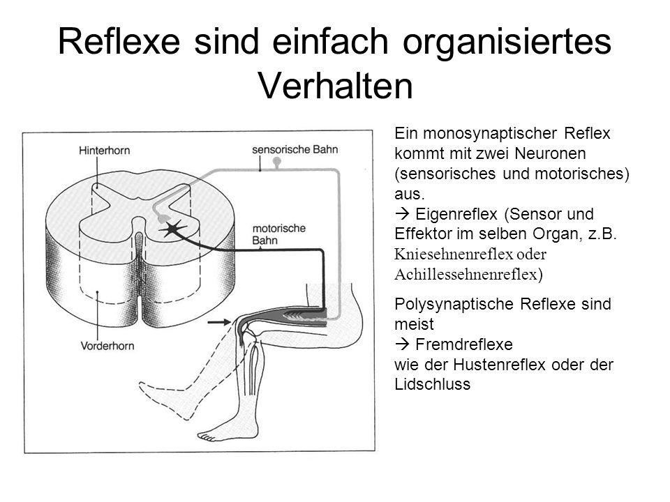Reflexe sind einfach organisiertes Verhalten Ein monosynaptischer Reflex kommt mit zwei Neuronen (sensorisches und motorisches) aus.  Eigenreflex (Se