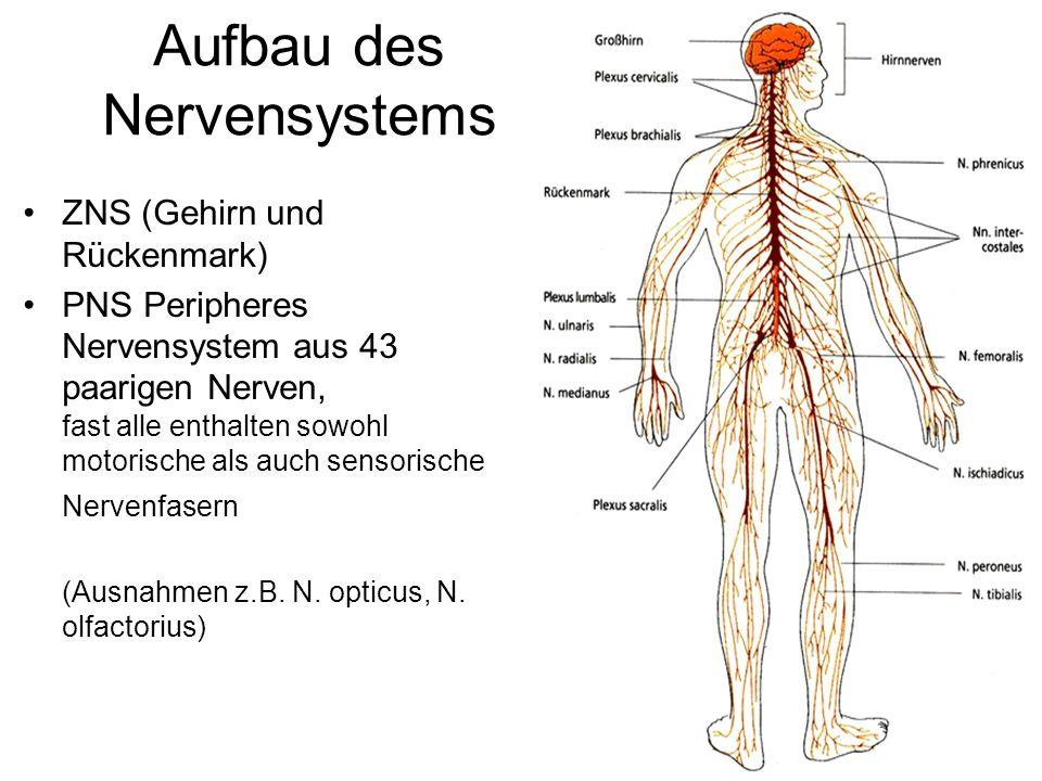 Aufbau des Nervensystems ZNS (Gehirn und Rückenmark) PNS Peripheres Nervensystem aus 43 paarigen Nerven, fast alle enthalten sowohl motorische als auc