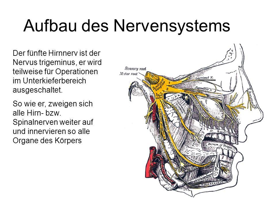 Aufbau des Nervensystems Der fünfte Hirnnerv ist der Nervus trigeminus, er wird teilweise für Operationen im Unterkieferbereich ausgeschaltet. So wie