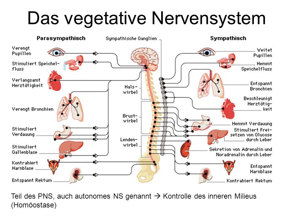 Das vegetative Nervensystem Teil des PNS, auch autonomes NS genannt  Kontrolle des inneren Milieus (Homöostase)