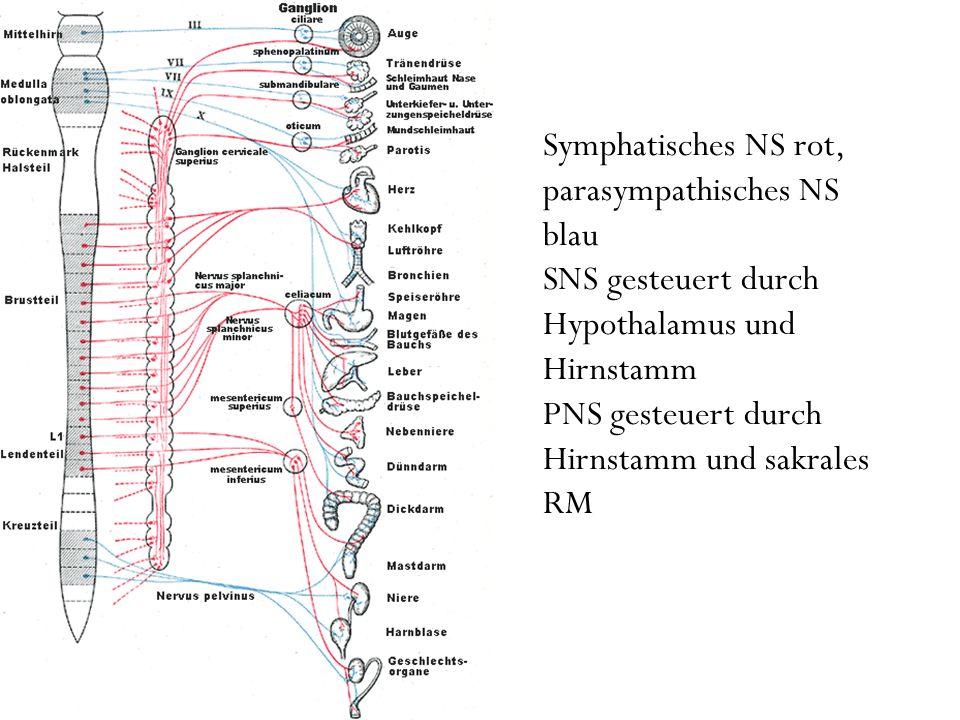 Symphatisches NS rot, parasympathisches NS blau SNS gesteuert durch Hypothalamus und Hirnstamm PNS gesteuert durch Hirnstamm und sakrales RM
