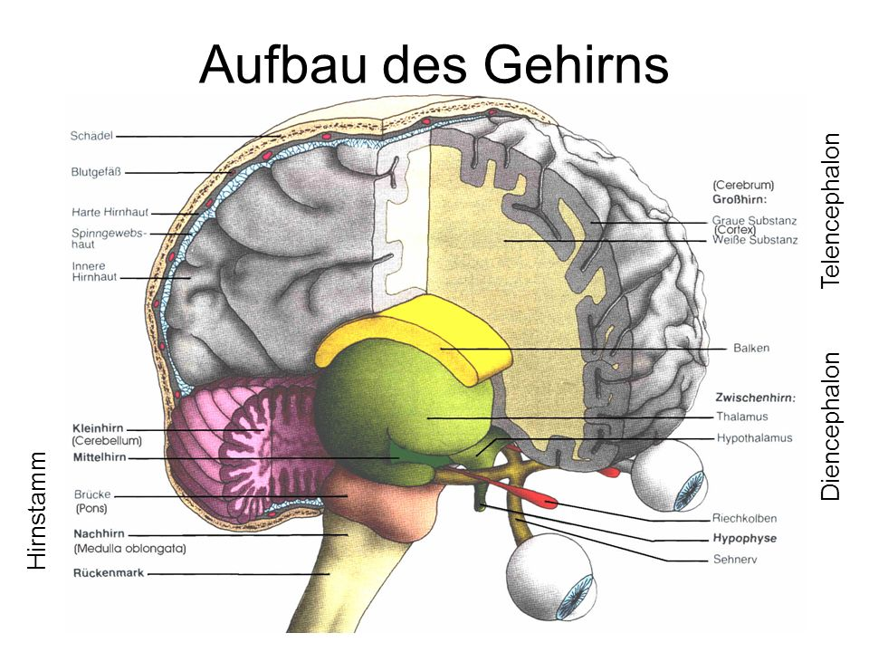 Aufbau des Gehirns Hirnstamm Diencephalon Telencephalon