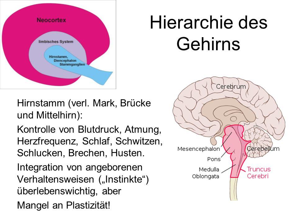Hierarchie des Gehirns Hirnstamm (verl. Mark, Brücke und Mittelhirn): Kontrolle von Blutdruck, Atmung, Herzfrequenz, Schlaf, Schwitzen, Schlucken, Bre