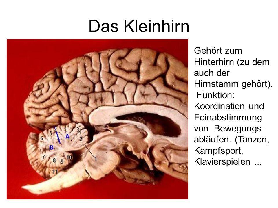 Das Kleinhirn Gehört zum Hinterhirn (zu dem auch der Hirnstamm gehört). Funktion: Koordination und Feinabstimmung von Bewegungs- abläufen. (Tanzen, Ka