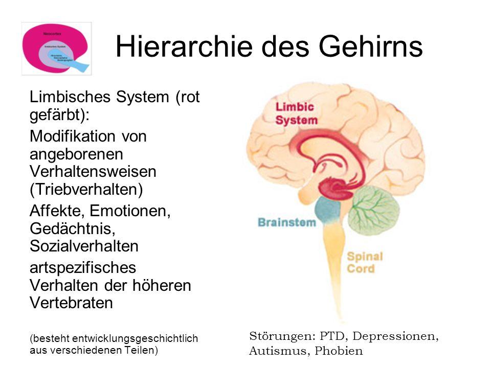 Hierarchie des Gehirns Limbisches System (rot gefärbt): Modifikation von angeborenen Verhaltensweisen (Triebverhalten) Affekte, Emotionen, Gedächtnis,