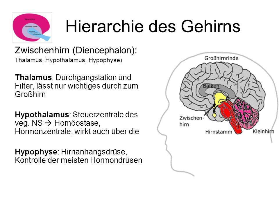 Hierarchie des Gehirns Zwischenhirn (Diencephalon): Thalamus, Hypothalamus, Hypophyse) Thalamus: Durchgangstation und Filter, lässt nur wichtiges durc