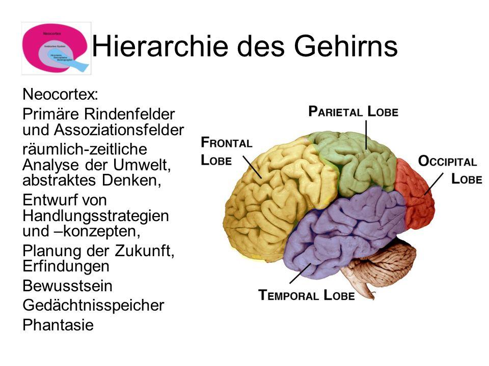 Hierarchie des Gehirns Neocortex: Primäre Rindenfelder und Assoziationsfelder räumlich-zeitliche Analyse der Umwelt, abstraktes Denken, Entwurf von Ha
