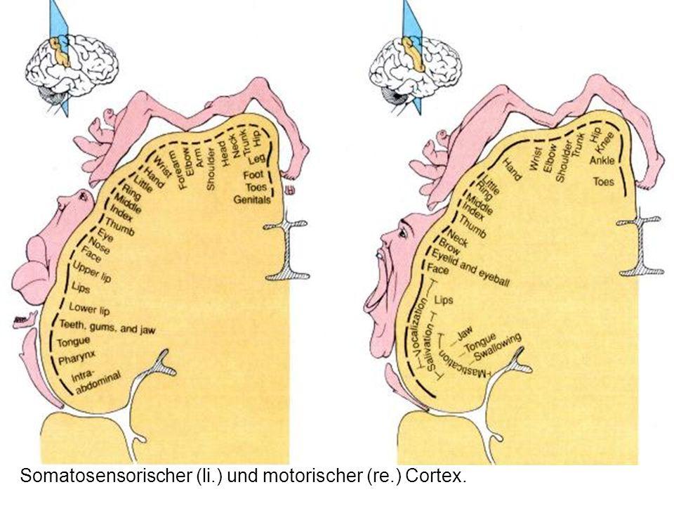 Somatosensorischer (li.) und motorischer (re.) Cortex.