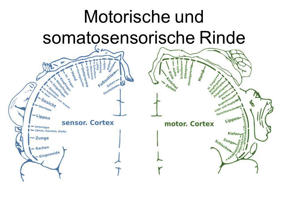 Motorische und somatosensorische Rinde