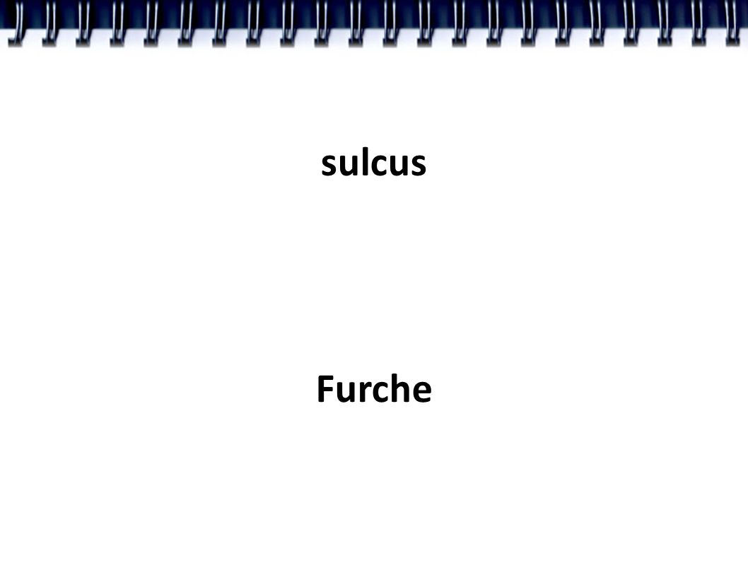 sulcus Furche
