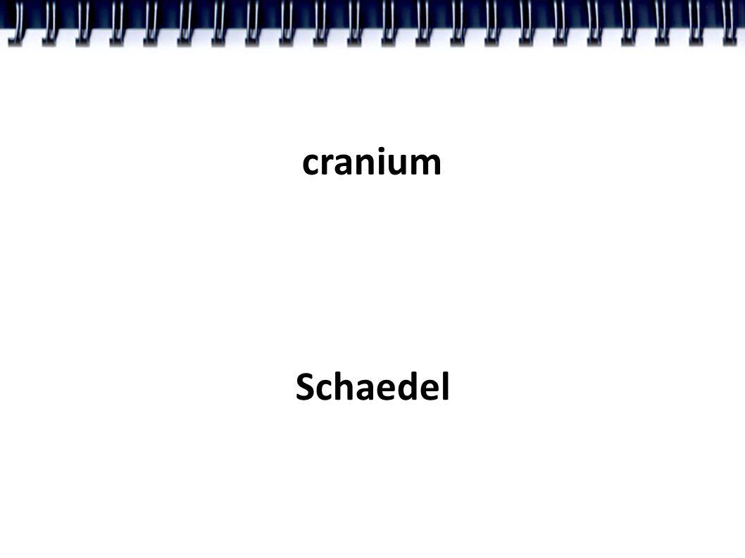 cranium Schaedel