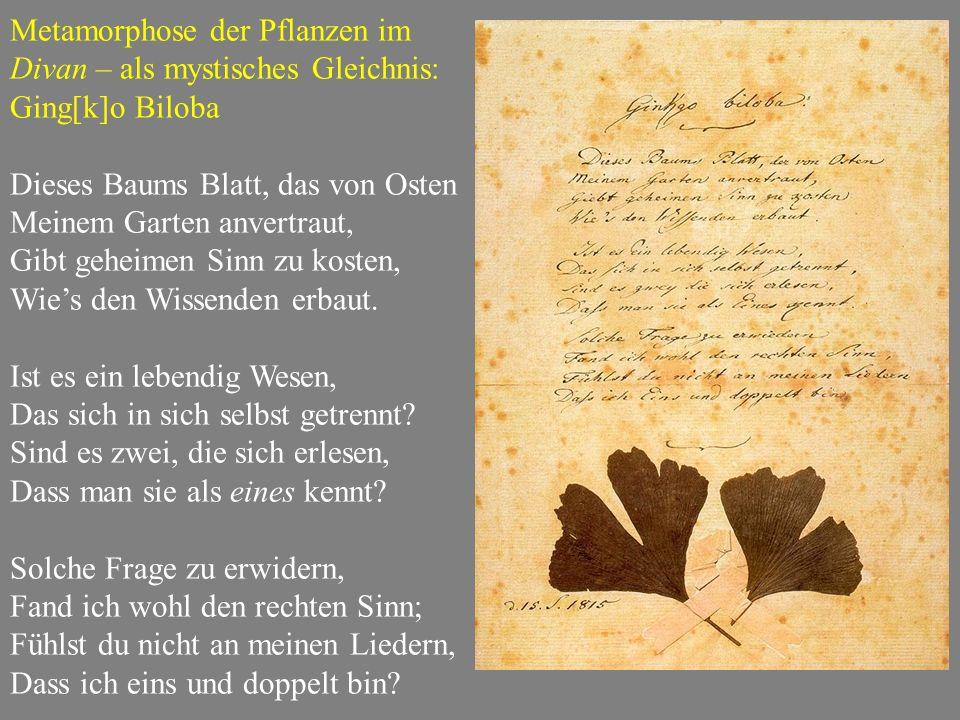 Metamorphose der Pflanzen im Divan – als mystisches Gleichnis: Ging[k]o Biloba Dieses Baums Blatt, das von Osten Meinem Garten anvertraut, Gibt geheimen Sinn zu kosten, Wie's den Wissenden erbaut.