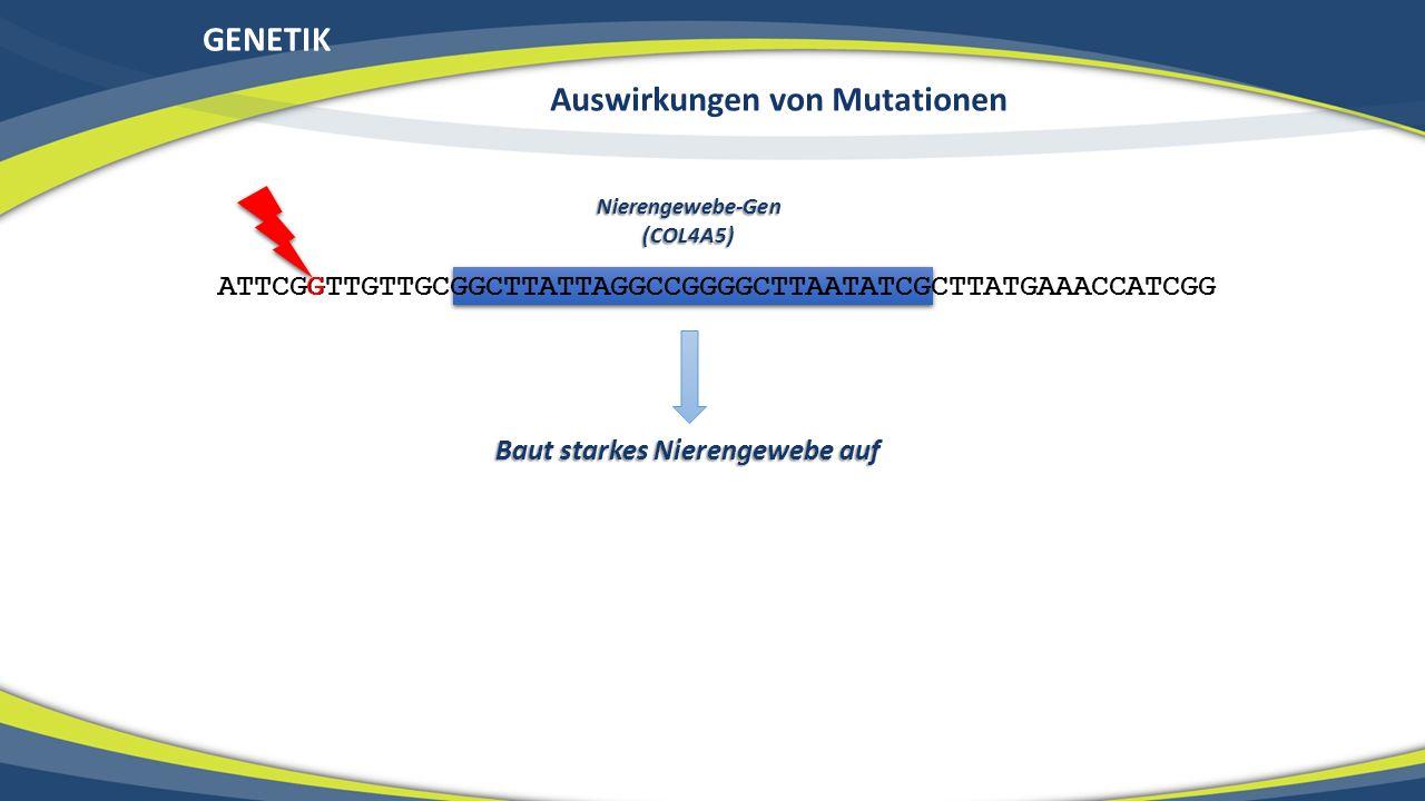 GENETIK ATTCGGTTGTTGCGGCTTATTAGGCCGGGGCTTAATATCGCTTATGAAACCATCGG Nierengewebe-Gen(COL4A5) Baut starkes Nierengewebe auf G Auswirkungen von Mutationen