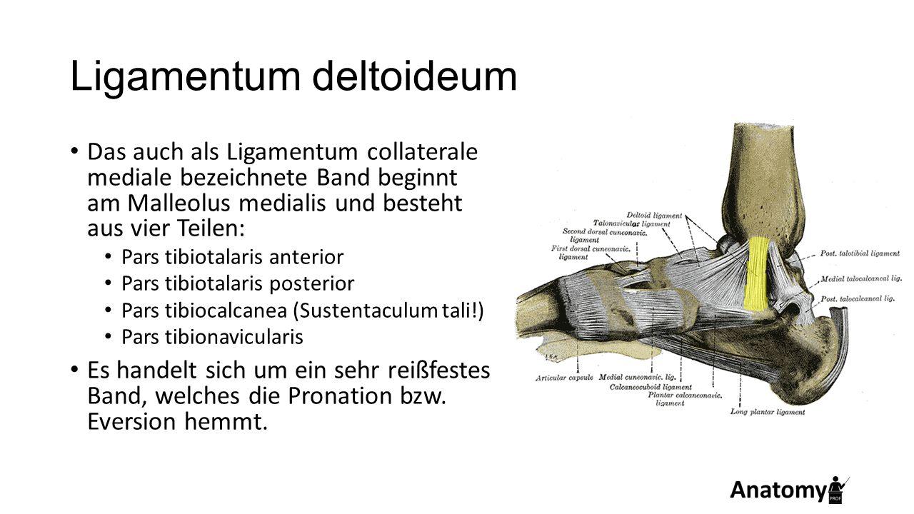 Ligamentum deltoideum Das auch als Ligamentum collaterale mediale bezeichnete Band beginnt am Malleolus medialis und besteht aus vier Teilen: Pars tib