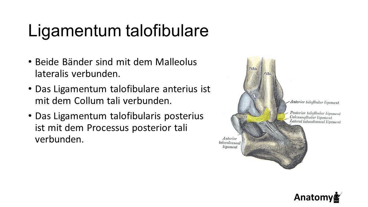 Ligamentum talofibulare Beide Bänder sind mit dem Malleolus lateralis verbunden. Das Ligamentum talofibulare anterius ist mit dem Collum tali verbunde