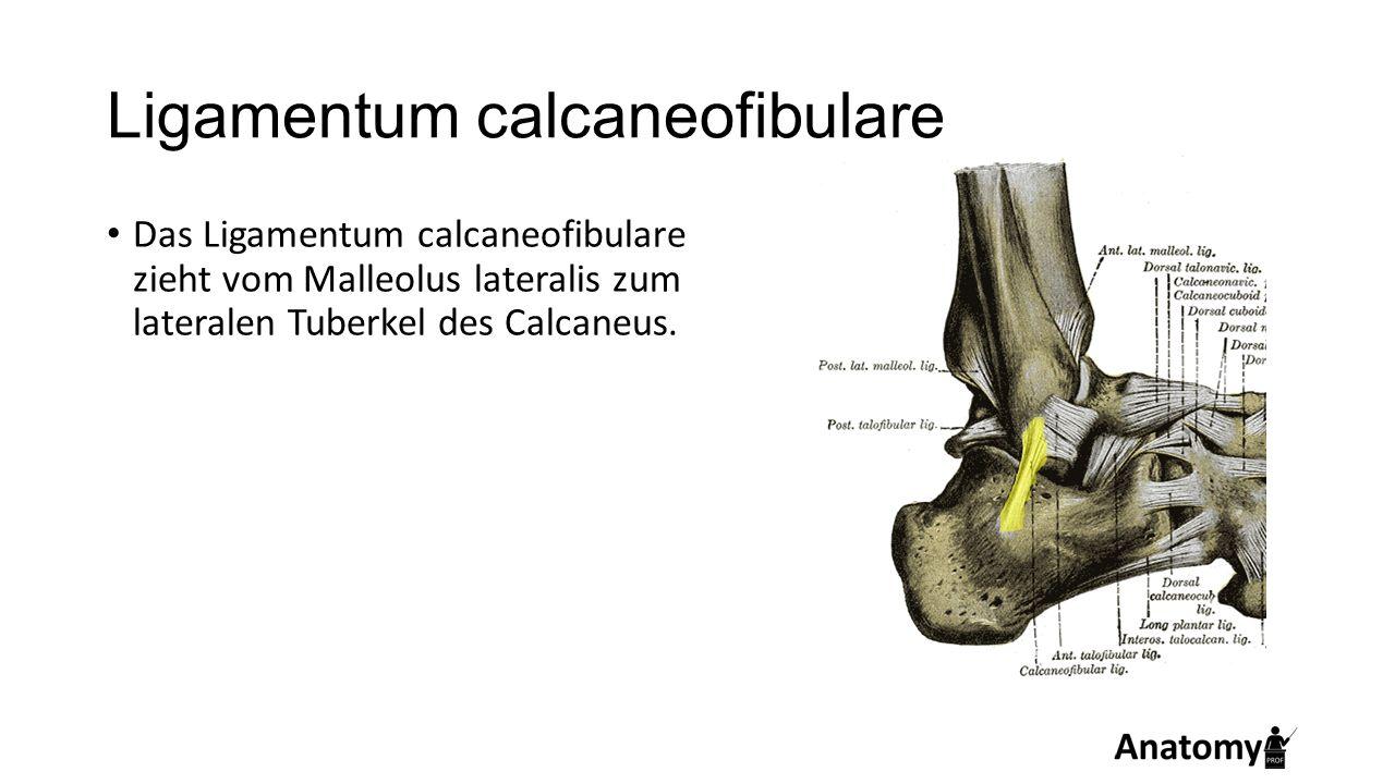 Ligamentum calcaneofibulare Das Ligamentum calcaneofibulare zieht vom Malleolus lateralis zum lateralen Tuberkel des Calcaneus.