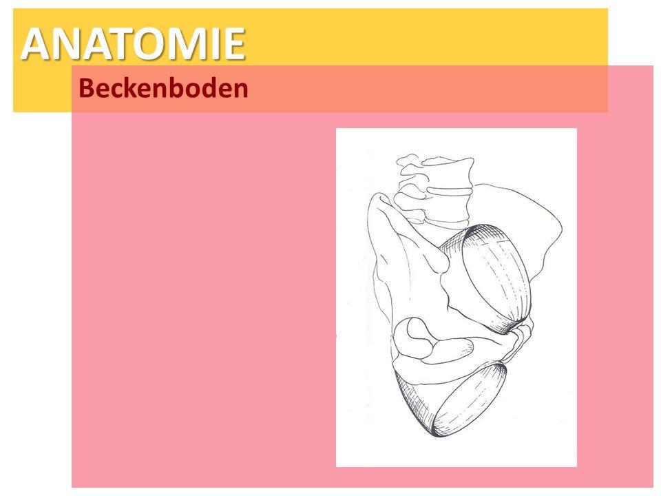 ANATOMIE Beckenboden