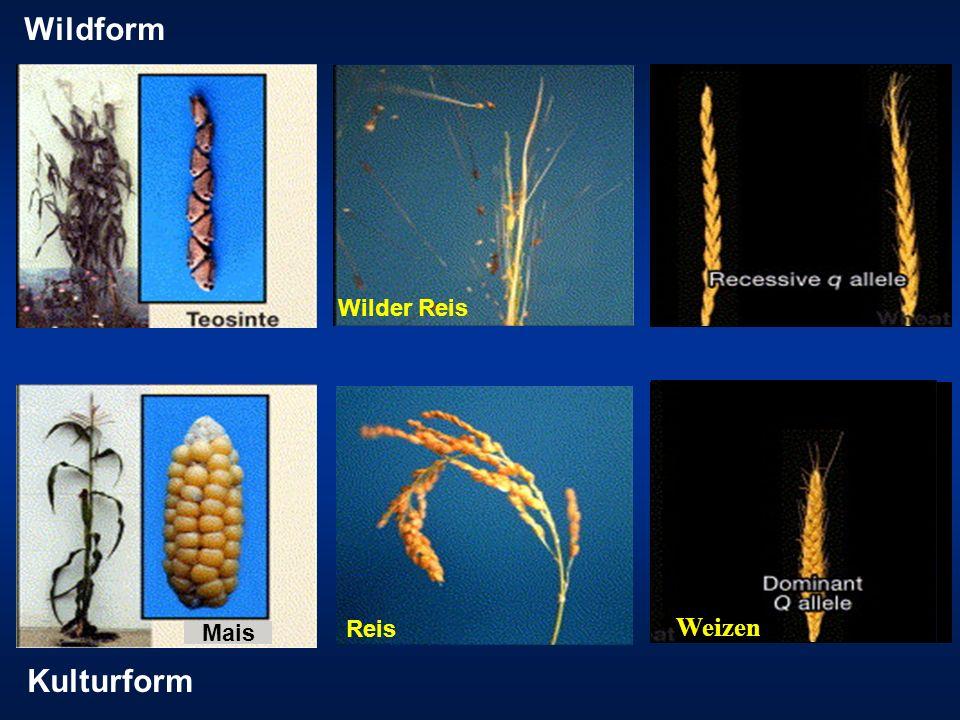 Reis Wilder Reis Mais Wildform Kulturform Weizen
