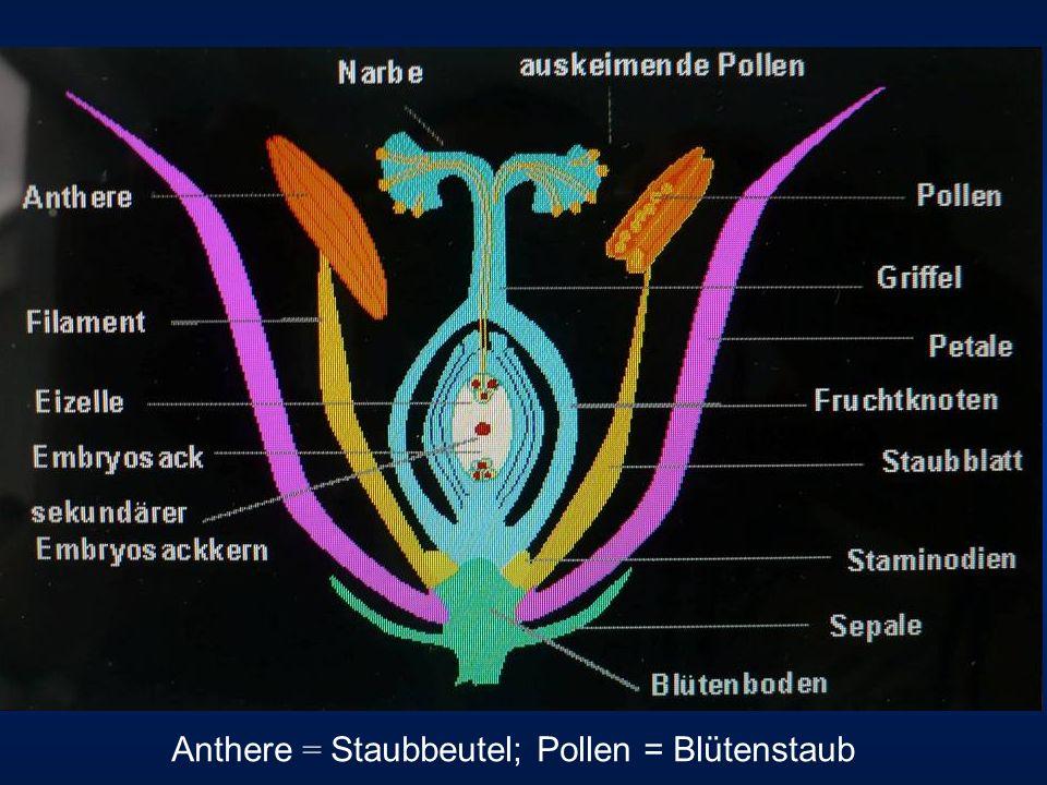 Anthere = Staubbeutel; Pollen = Blütenstaub