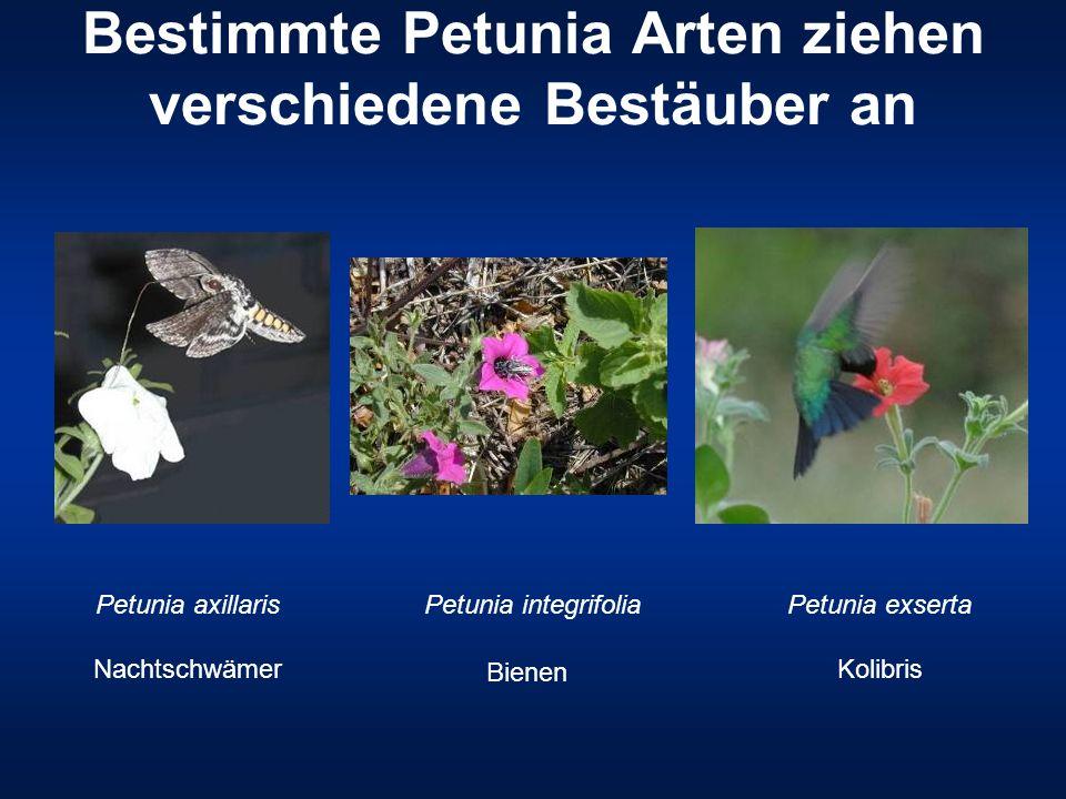 Bestimmte Petunia Arten ziehen verschiedene Bestäuber an Petunia exserta Kolibris Petunia integrifolia Bienen Petunia axillaris Nachtschwämer