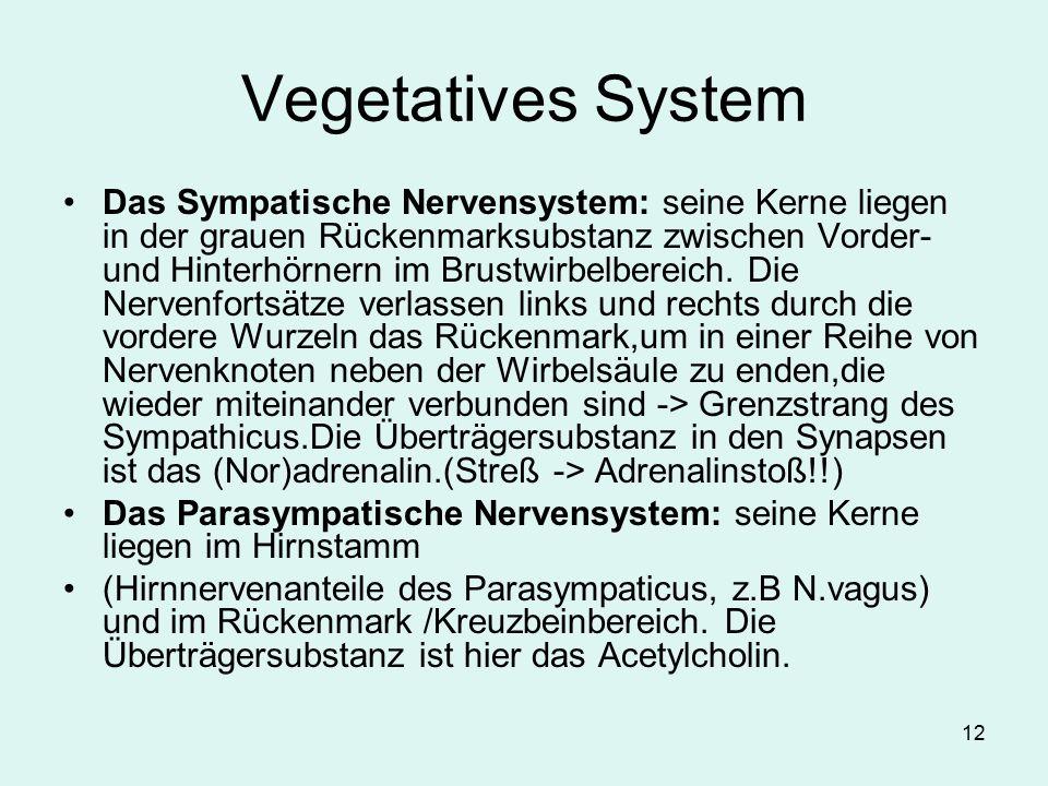 12 Vegetatives System Das Sympatische Nervensystem: seine Kerne liegen in der grauen Rückenmarksubstanz zwischen Vorder- und Hinterhörnern im Brustwir
