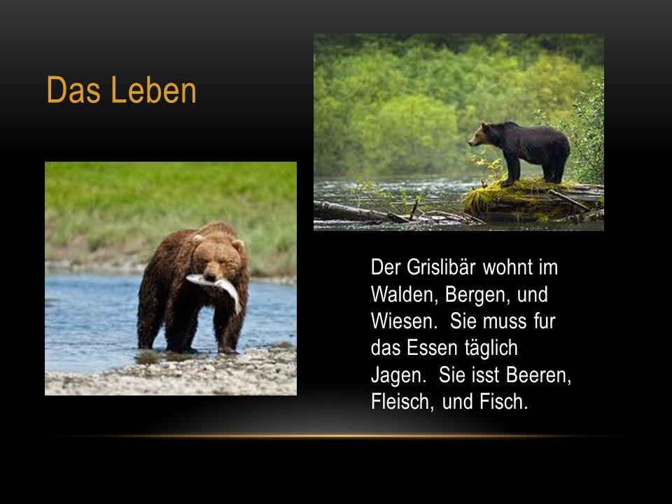 Das Leben Der Grislibär wohnt im Walden, Bergen, und Wiesen.