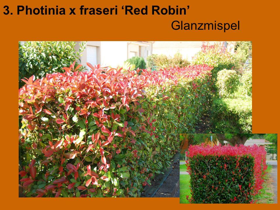 3. Photinia x fraseri 'Red Robin' Glanzmispel