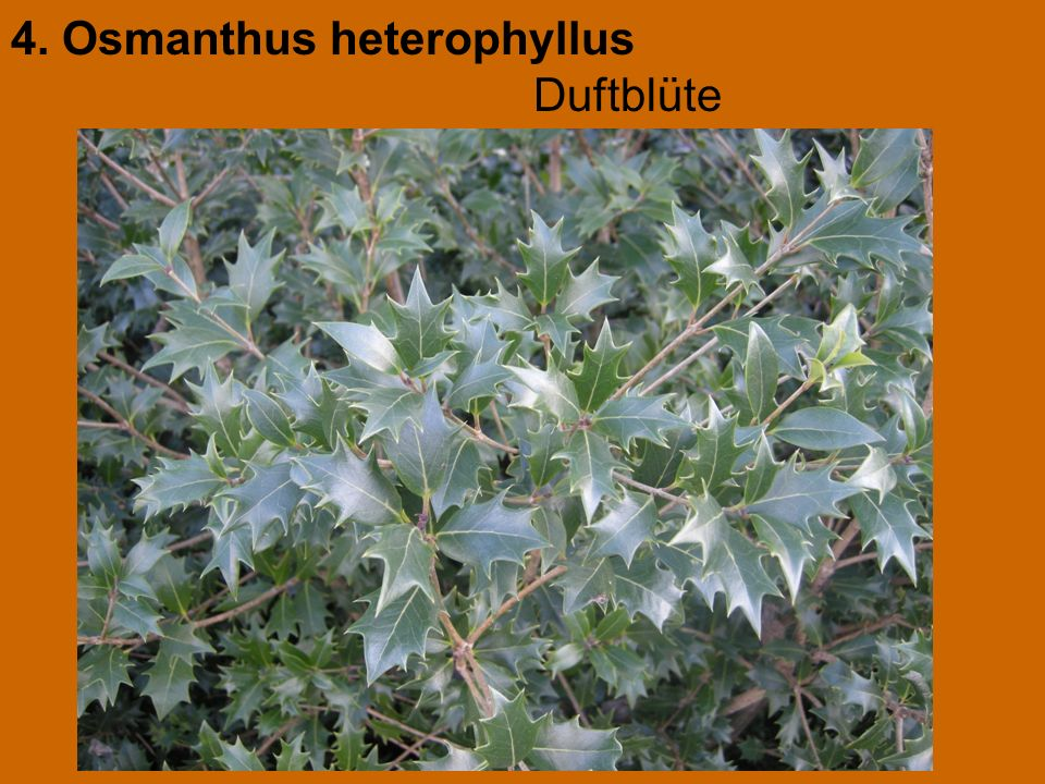 4. Osmanthus heterophyllus Duftblüte