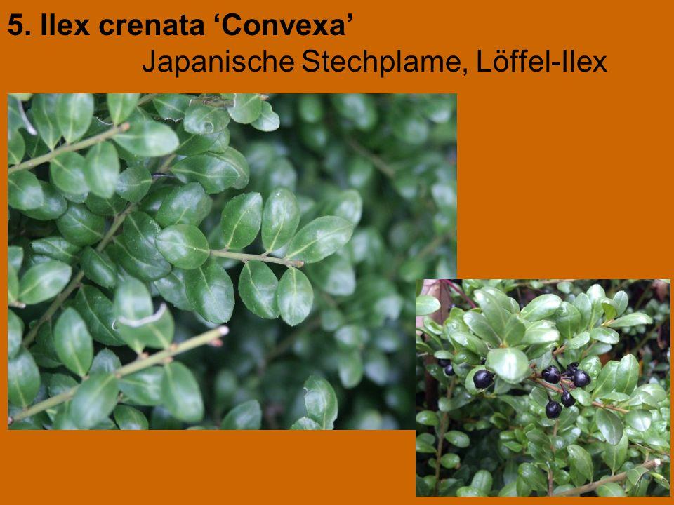 5. Ilex crenata 'Convexa' Japanische Stechplame, Löffel-Ilex