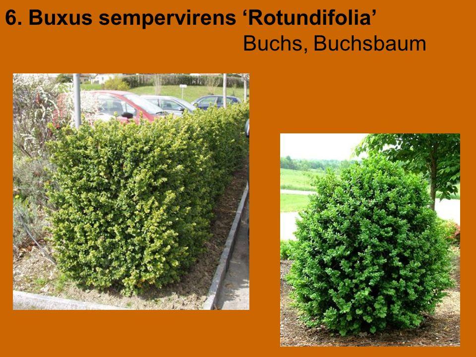 6. Buxus sempervirens 'Rotundifolia' Buchs, Buchsbaum