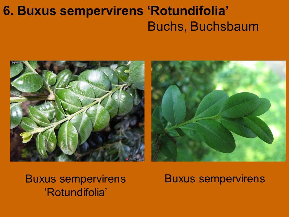 6. Buxus sempervirens 'Rotundifolia' Buchs, Buchsbaum Buxus sempervirens 'Rotundifolia'