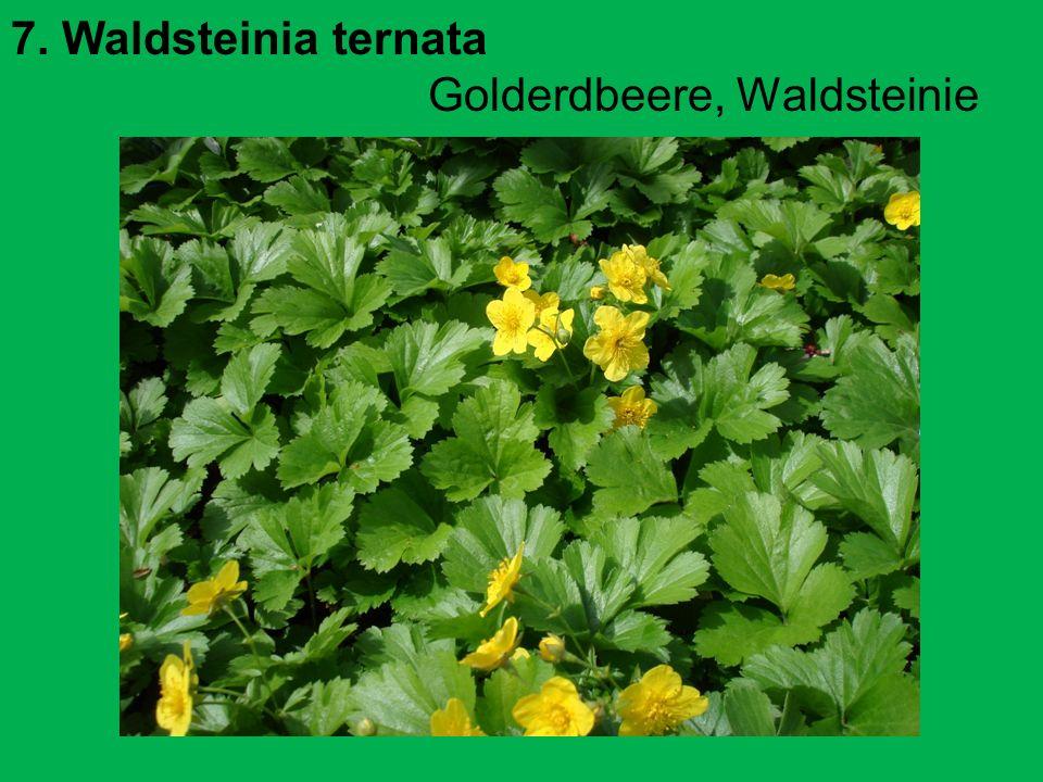 7. Waldsteinia ternata Golderdbeere, Waldsteinie