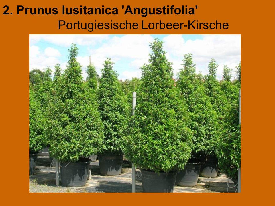 2. Prunus lusitanica Angustifolia Portugiesische Lorbeer-Kirsche