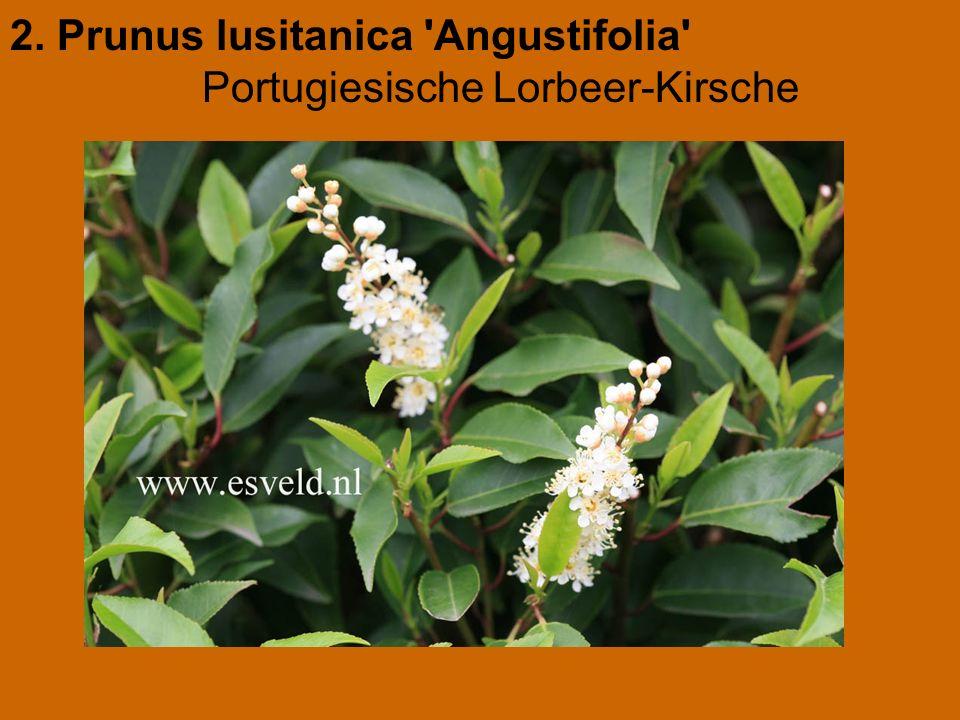 2. Prunus lusitanica 'Angustifolia' Portugiesische Lorbeer-Kirsche
