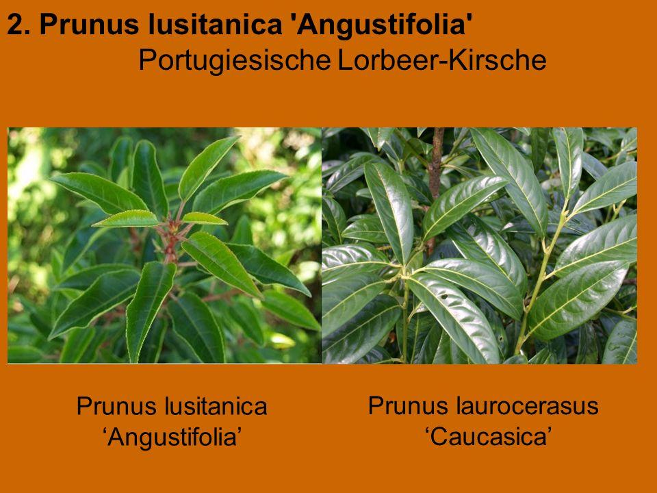 2. Prunus lusitanica 'Angustifolia' Portugiesische Lorbeer-Kirsche Prunus laurocerasus 'Caucasica' Prunus lusitanica 'Angustifolia'