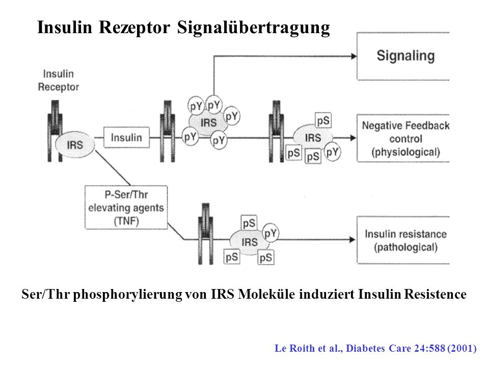 Ser/Thr phosphorylierung von IRS Moleküle induziert Insulin Resistence Le Roith et al., Diabetes Care 24:588 (2001) Insulin Rezeptor Signalübertragung
