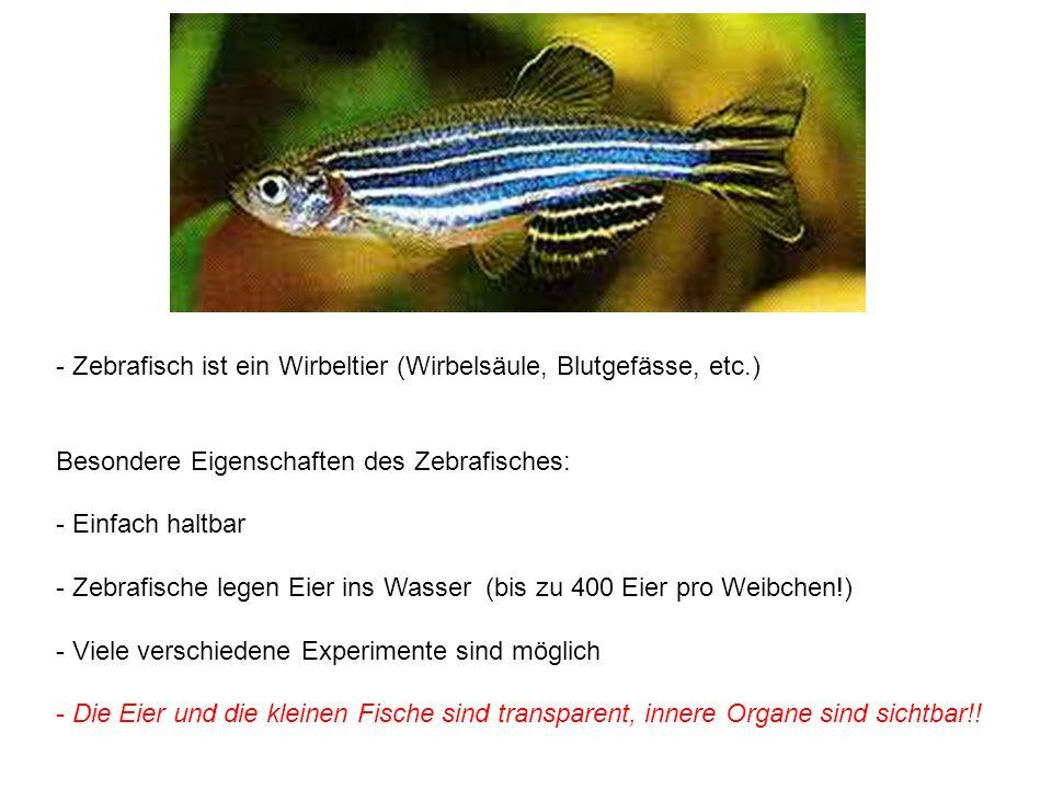 - Zebrafisch ist ein Wirbeltier (Wirbelsäule, Blutgefässe, etc.) Besondere Eigenschaften des Zebrafisches: - Einfach haltbar - Zebrafische legen Eier ins Wasser (bis zu 400 Eier pro Weibchen!) - Viele verschiedene Experimente sind möglich - Die Eier und die kleinen Fische sind transparent, innere Organe sind sichtbar!!