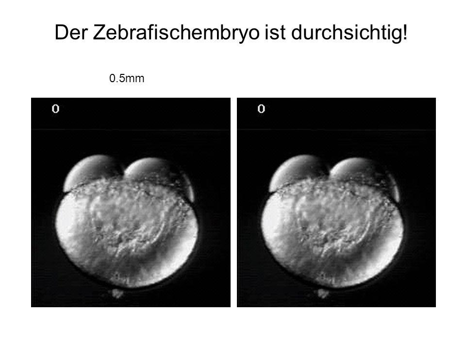 Der Zebrafischembryo ist durchsichtig! 0.5mm