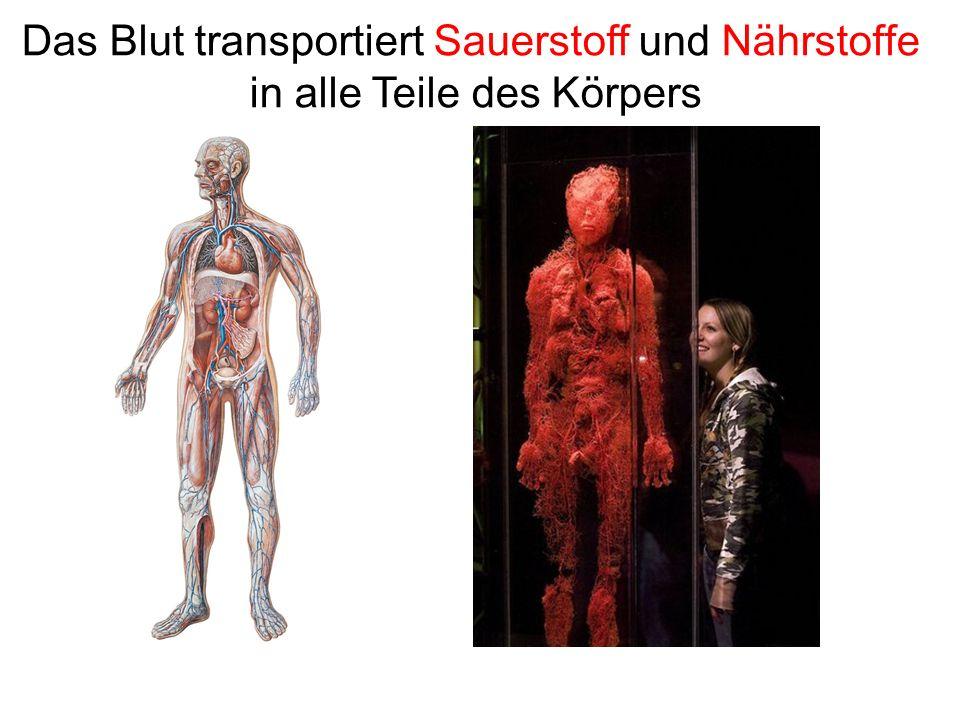Das Blut transportiert Sauerstoff und Nährstoffe in alle Teile des Körpers