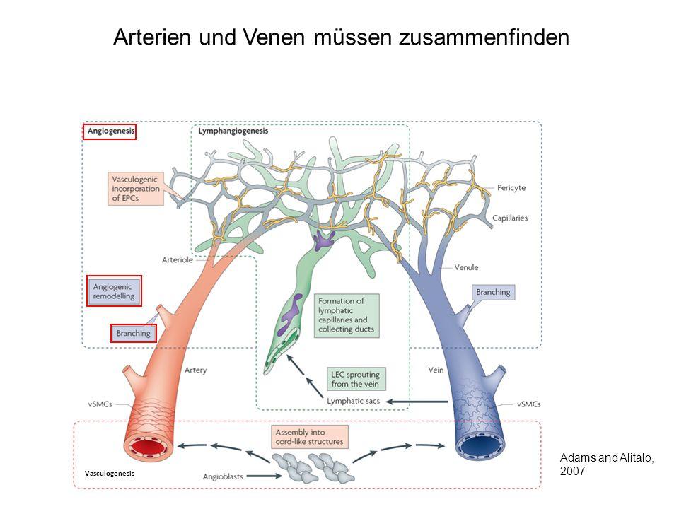 Arterien und Venen müssen zusammenfinden Vasculogenesis Adams and Alitalo, 2007
