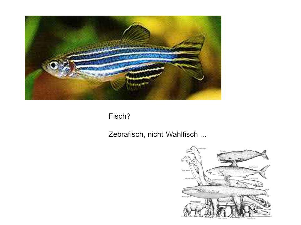 - Zebrafisch ist ein Wirbeltier (Wirbelsäule, Blutgefässe, etc.) Besondere Eigenschaften des Zebrafisches: - Einfach haltbar - Zebrafische legen Eier ins Wasser (bis zu 400 Eier pro Weibchen!) - Viele verschiedene Experimente sind möglich