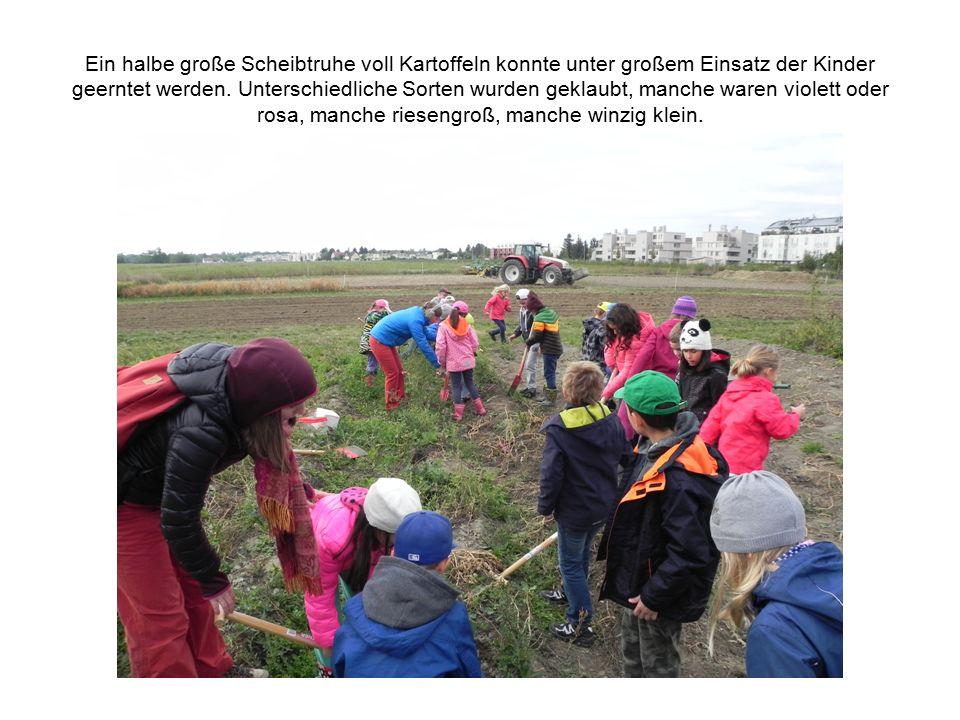Ein halbe große Scheibtruhe voll Kartoffeln konnte unter großem Einsatz der Kinder geerntet werden. Unterschiedliche Sorten wurden geklaubt, manche wa